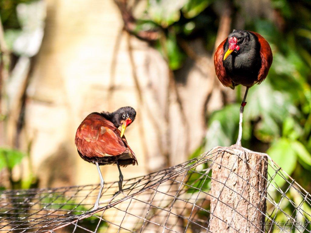 Jakana červenočelá (Jacana jacana)