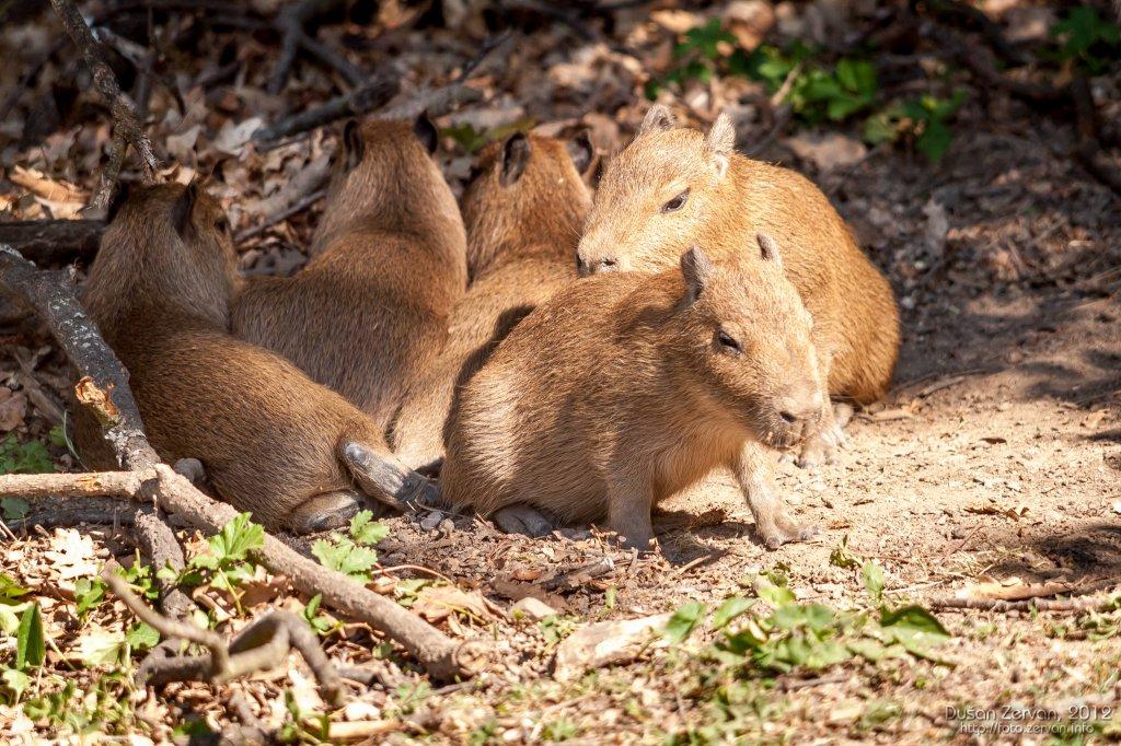 Kapybara močiarna (Hydrochoerus hydrochaeris)