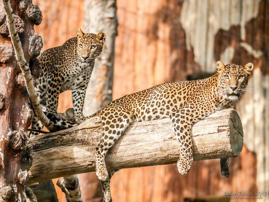 Leopard cejlónsky (Panthera pardus kotiya)