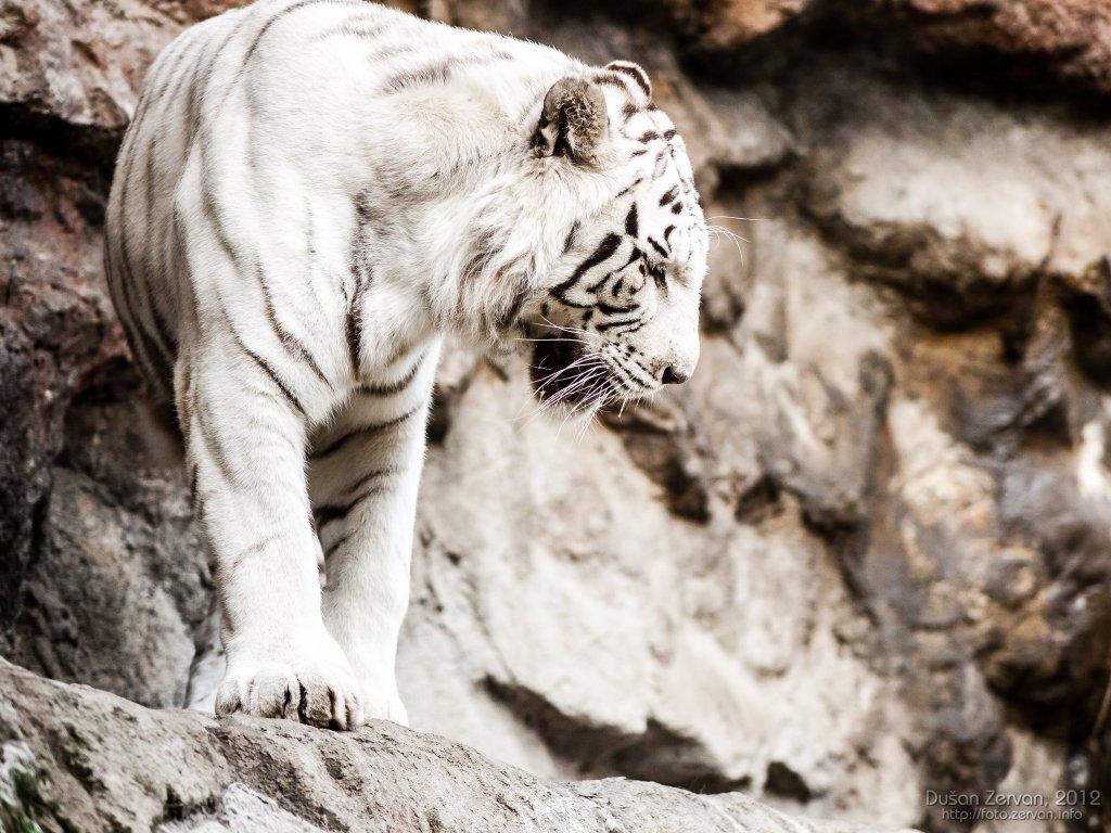 Tiger (Panthera tigris) - biela forma