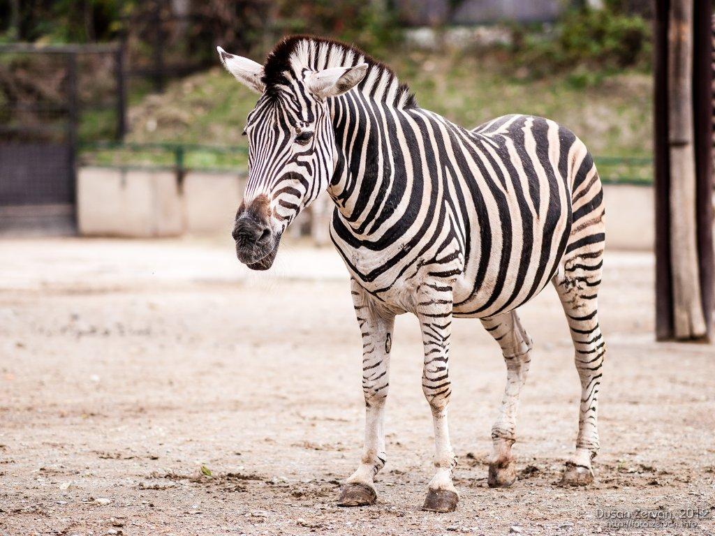 Zebra Chapmannova (Equus burchellii chapmanni)