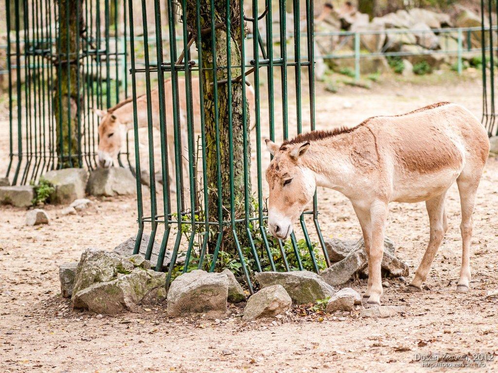 Kulan turkménsky (Equus hemionus kulan)