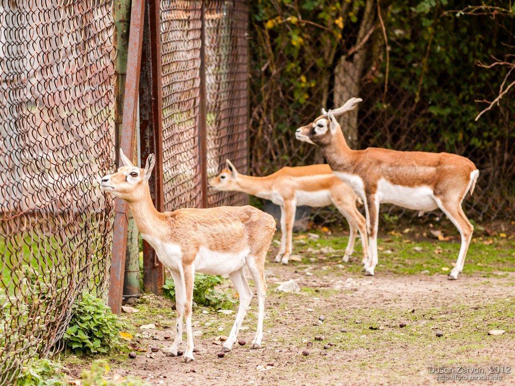 Antilopa jeleňovitá (Antilope cervicapra)