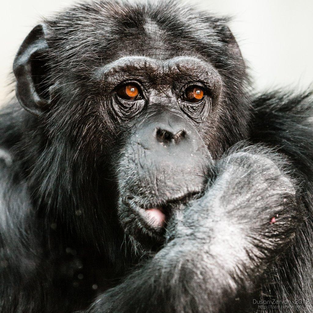 Šimpanz učenlivý (Pan troglodytes)
