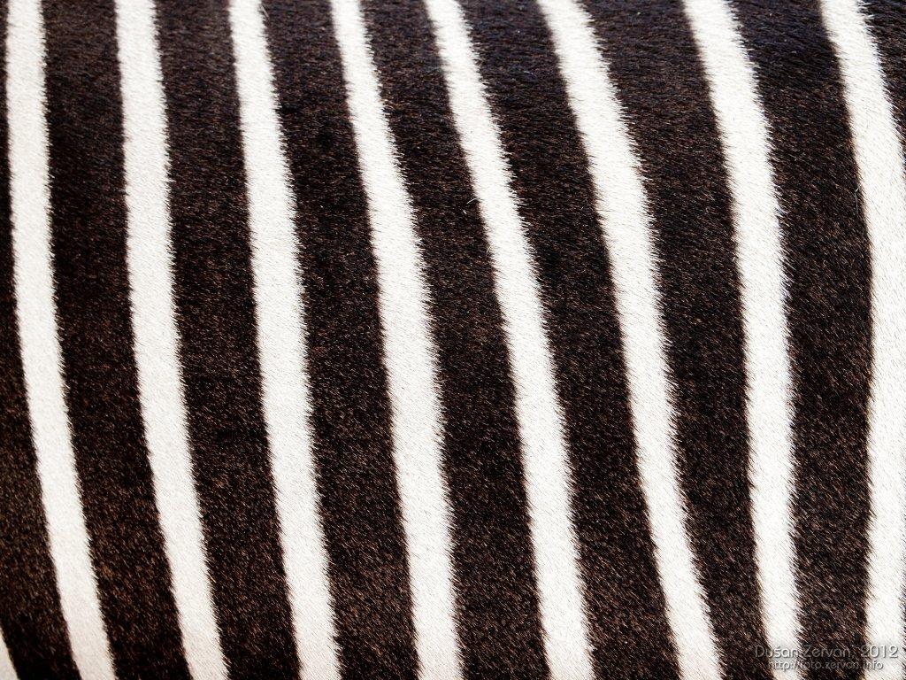 Zebra Grévyho (Equus grevyi)