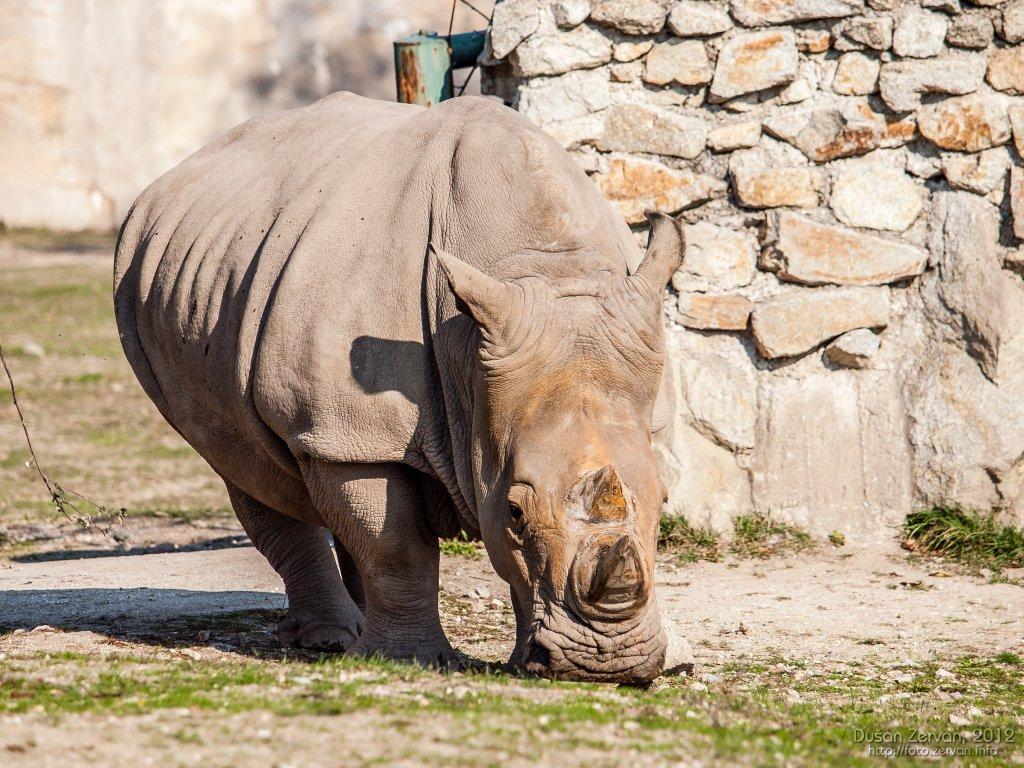 Nosorožec tuponosý južný (Ceratotherium simum simum)