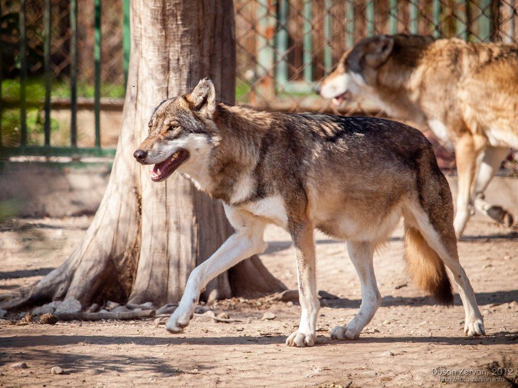 Vlk európsky (Canis lupus lupus)