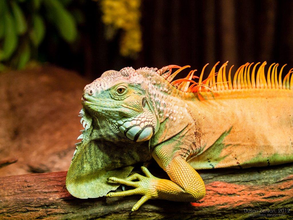 Leguán zelený (Iguana iguana)