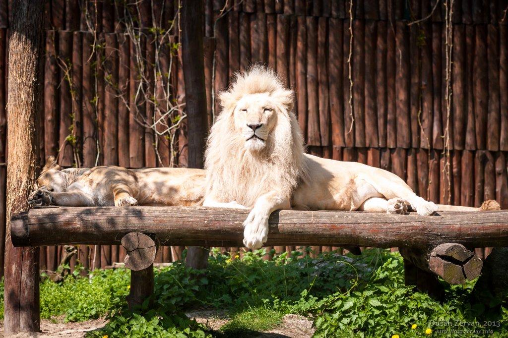 Lev juhoafrický (Panthera leo krugeri)