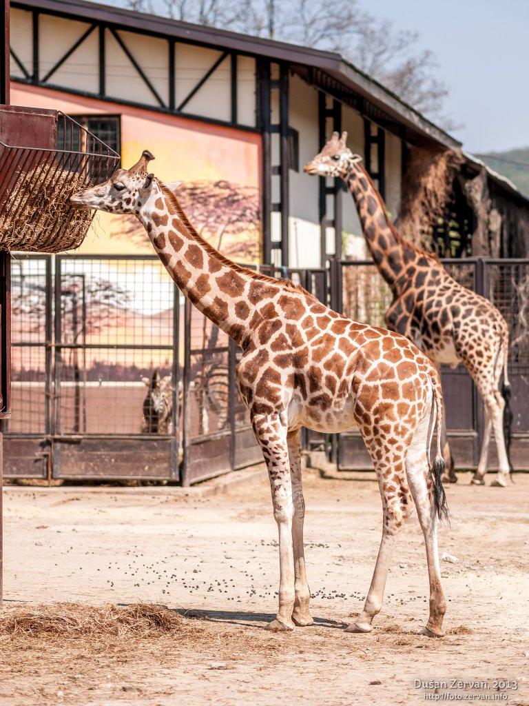 Žirafa Rothschildova (Giraffa camelopardalis rothschildi)
