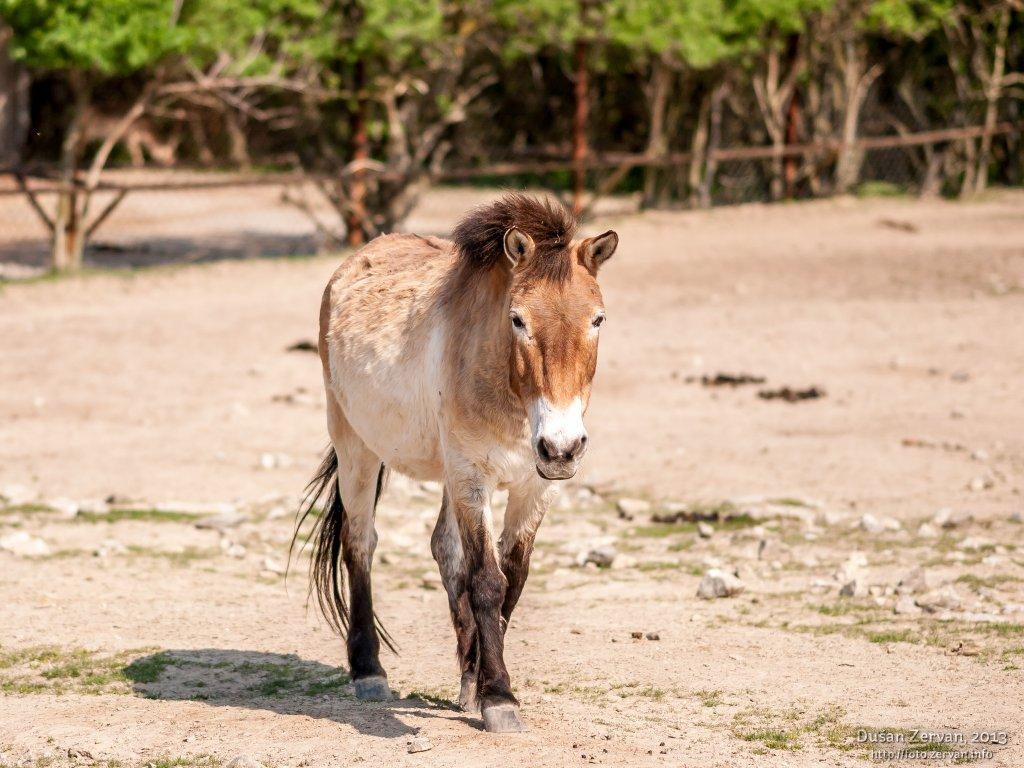 Kôň Przewalského (Equus przewalskii)