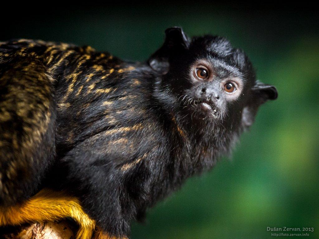 Tamarín žltoruký (Saguinus midas)