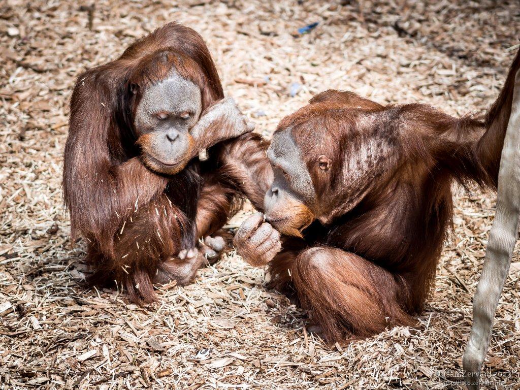 Orangutan sumatriansky (Pongo abelii)