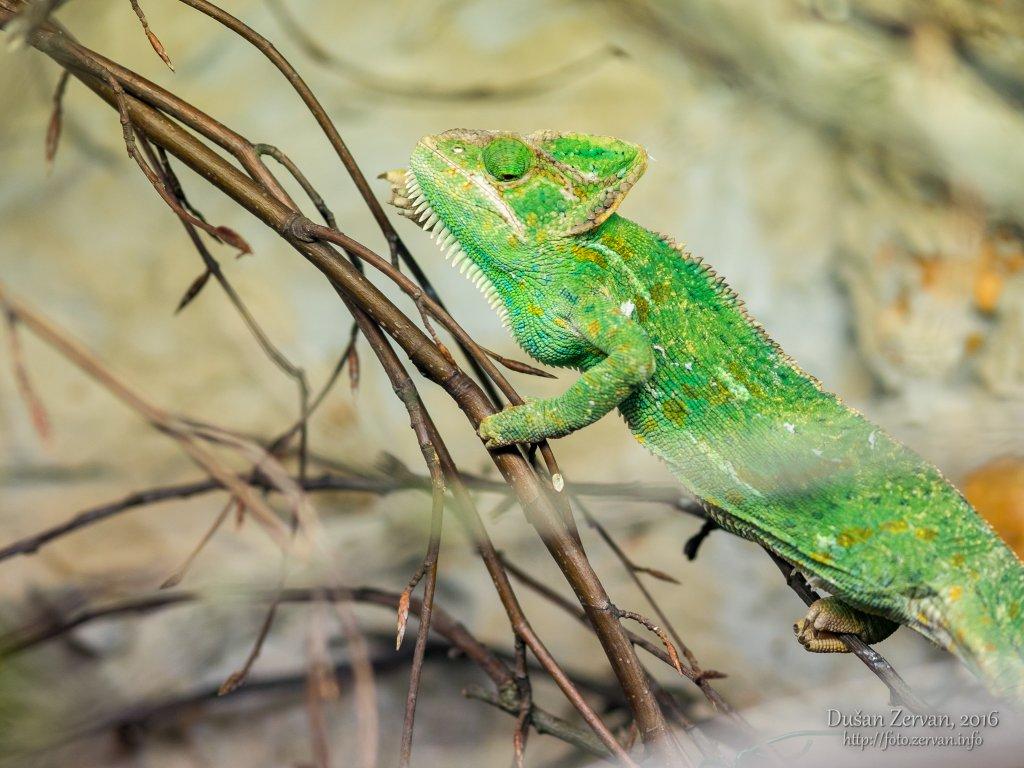 Chameleón jemenský (Chamaeleo calyptratus) / Veiled chameleon