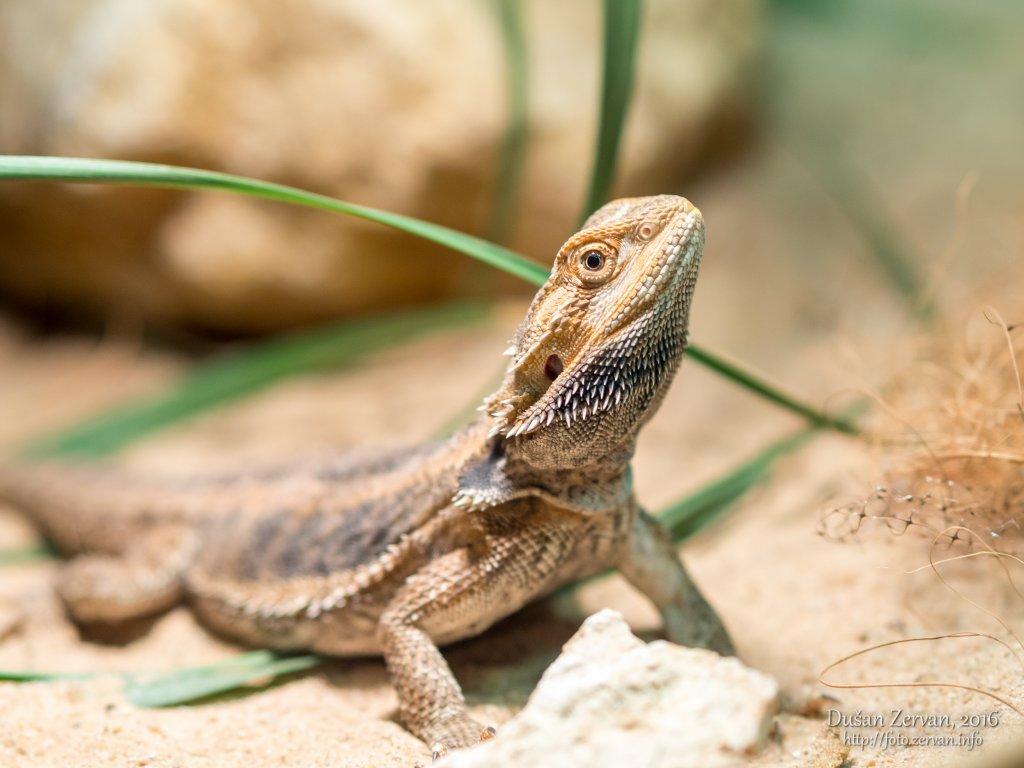 Agama bradatá (Pogona vitticeps) / Central bearded dragon