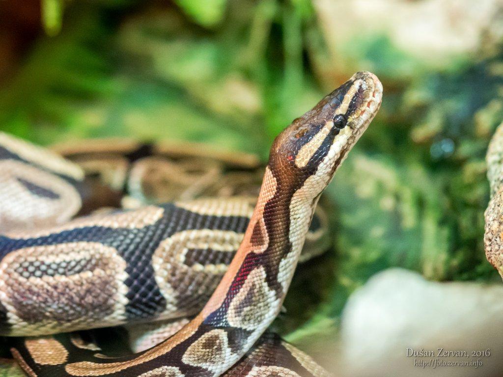 Pytón kráľovský (Python regius) / Ball python