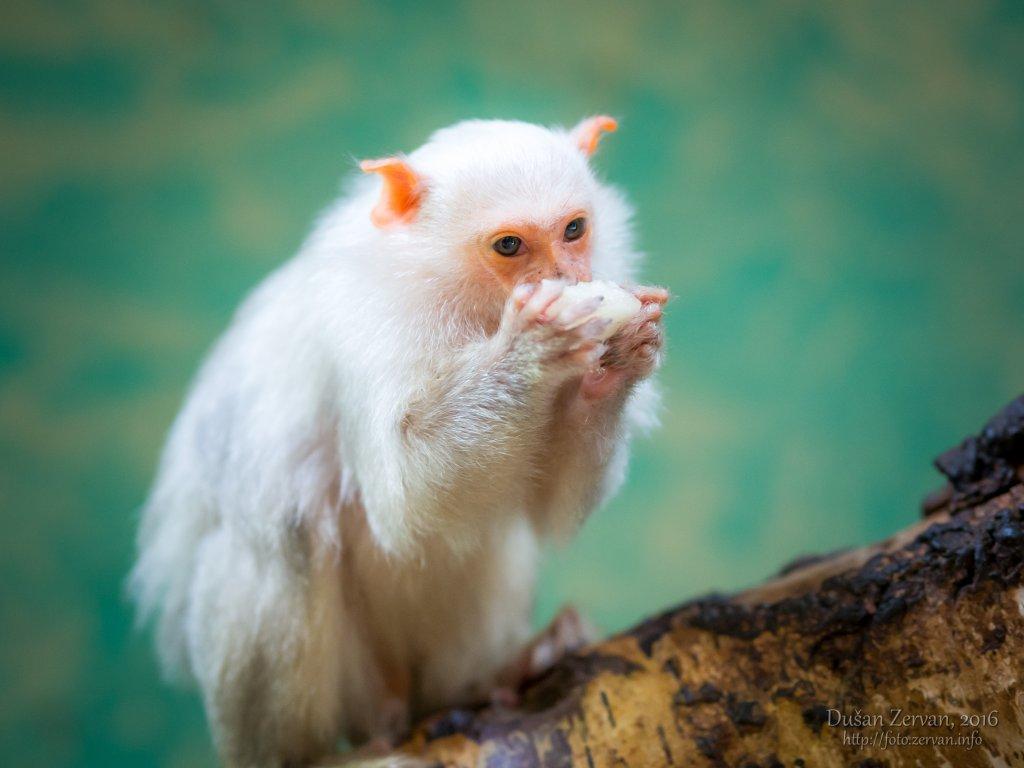 Kosmáč striebristý (Mico argentatus) / Silvery marmoset