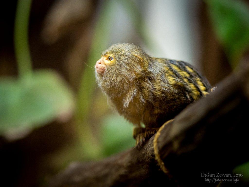 Kosmáč trpasličí (Callithrix pygmaea pygmaea) / Pygmy marmoset