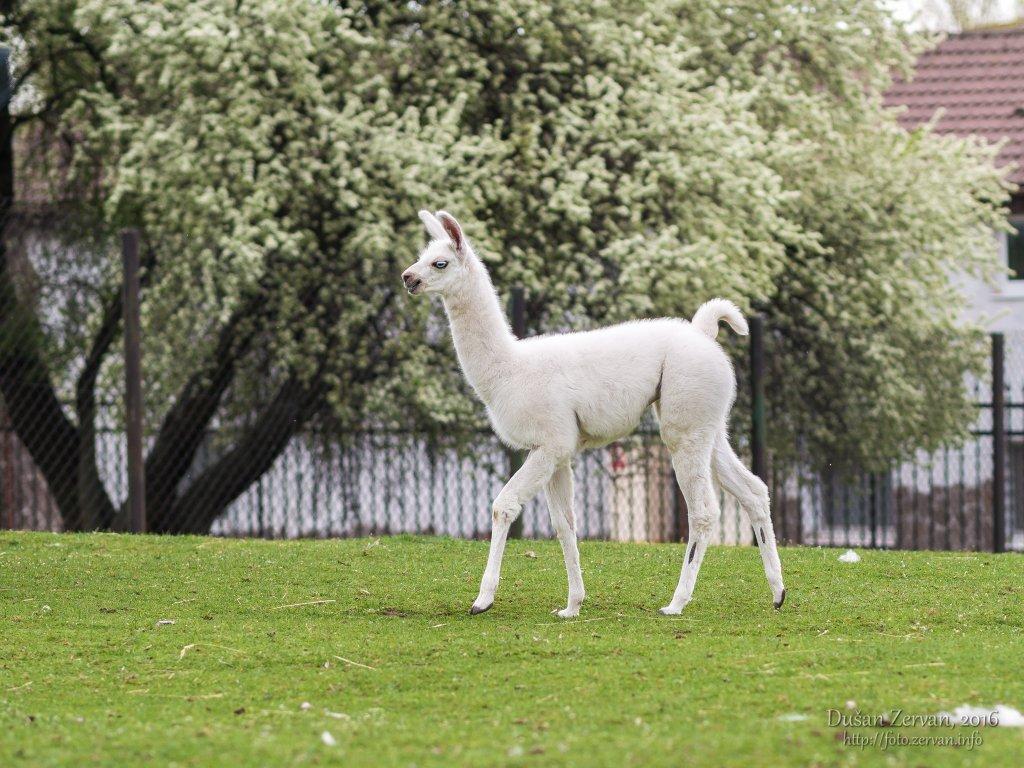 Lama krotká (Lama glama) / Llama