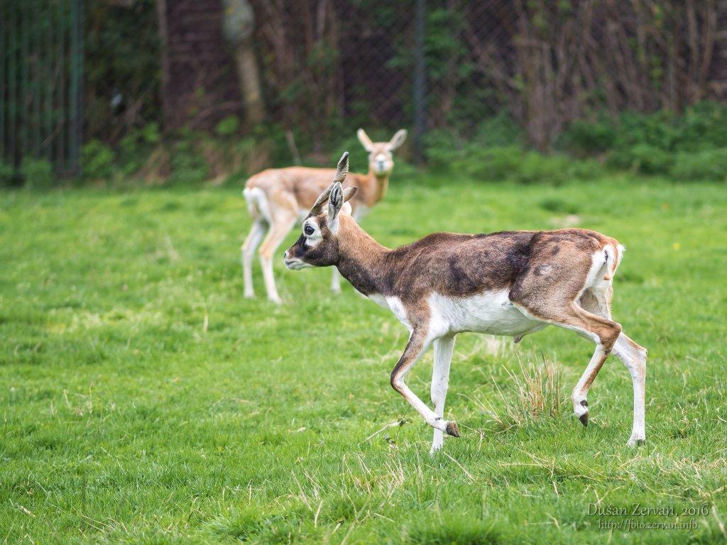 Antilopa jeleňovitá (Antilope cervicapra) / Blackbuck