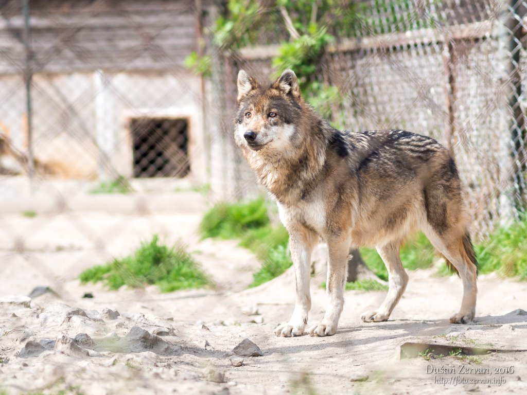 Vlk európsky (Canis lupus lupus) / European wolf