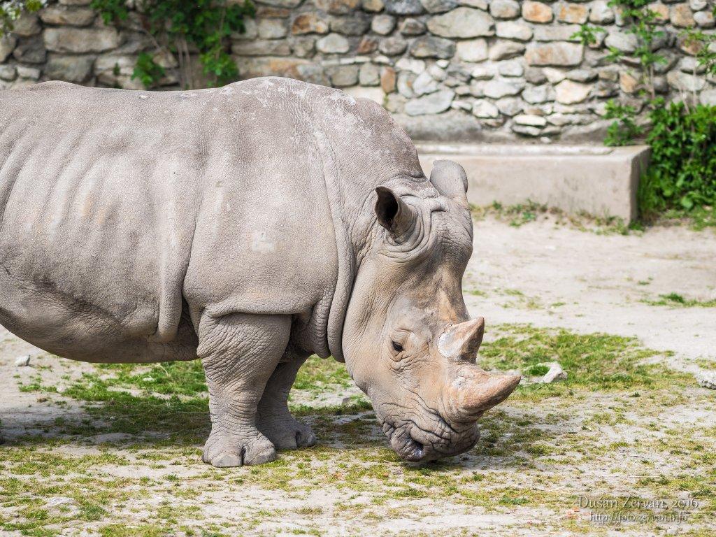 Nosorožec tuponosý južný (Ceratotherium simum simum) / White rhinoceros