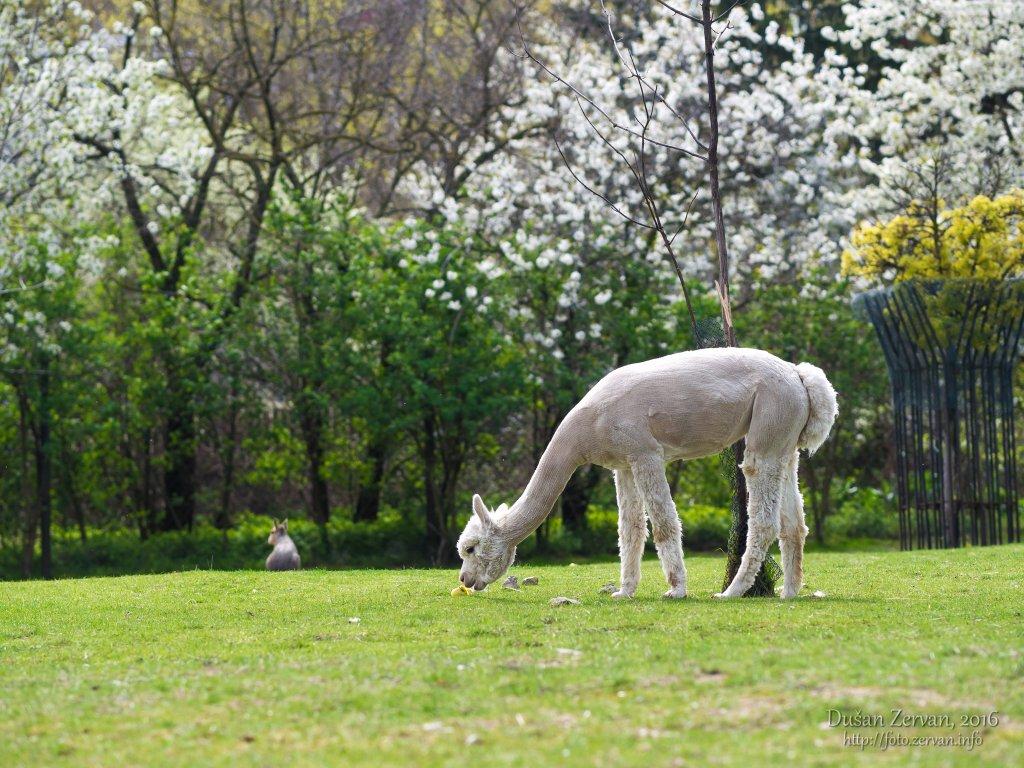 Lama alpaka (Vicugna pacos) / Alpaca
