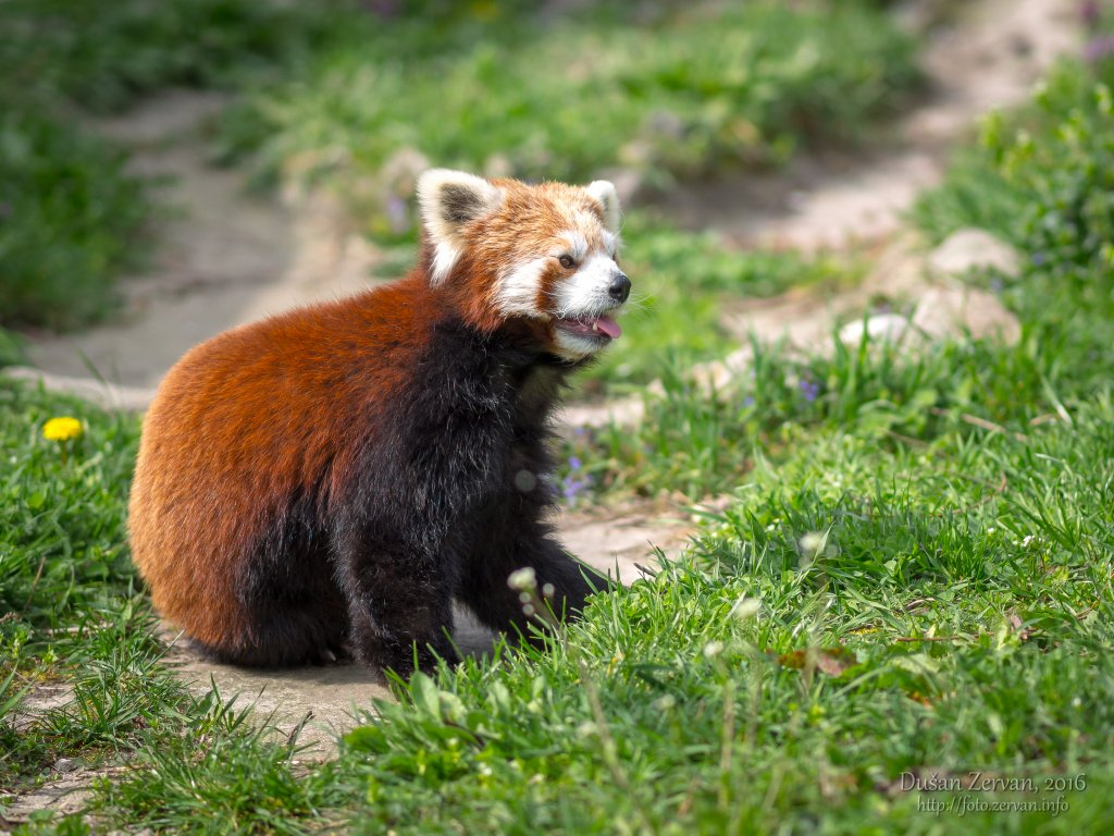 Panda červená (Ailurus fulgens) / Red panda