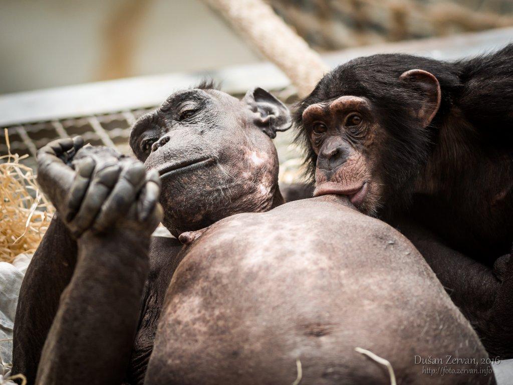 Šimpanz učenlivý (Pan troglodytes) / Common chimpanzee