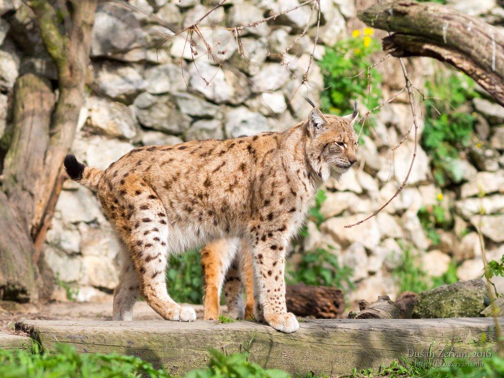 Rys ostrovid (Lynx lynx carpaticus) / Eurasian Lynx