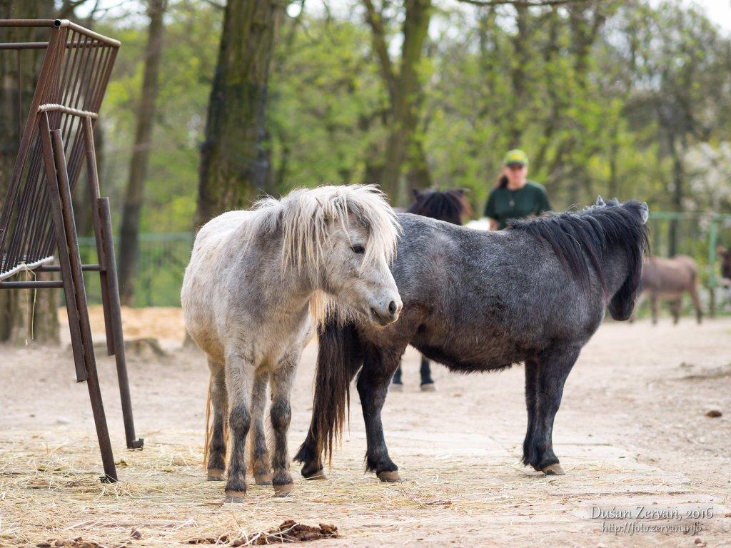 Poník (Equus cabalus) / Pony