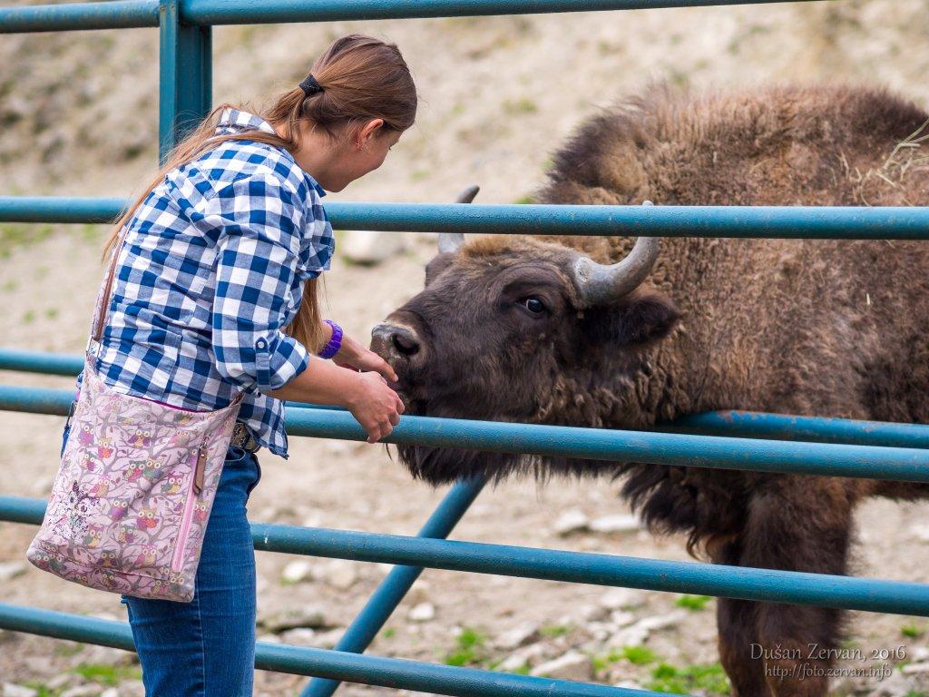 Zubor európsky (Bison bonasus) / European bison