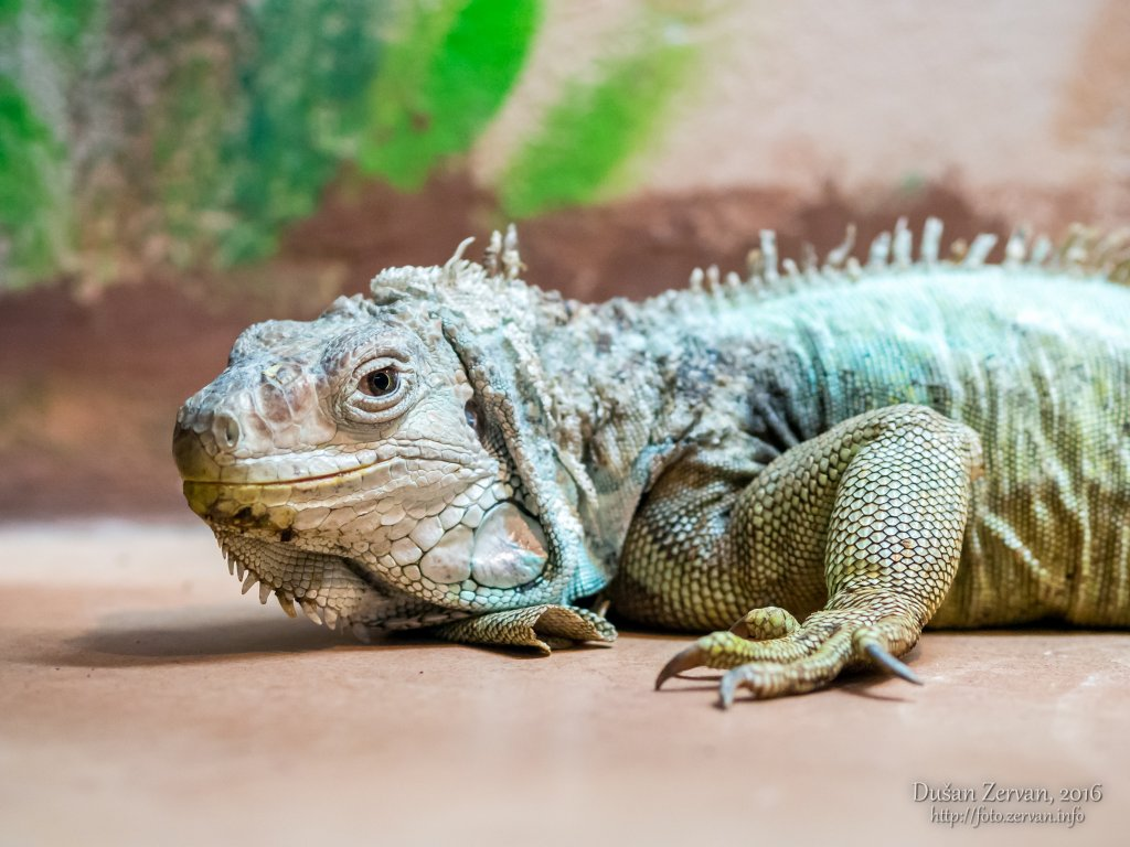 Leguán zelený (Iguana iguana) / Green iguana